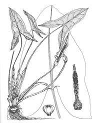 Drawing of Arrow anum or tuckahoe plant with illustrations of spathe, spadis, and seeds, which would turn blackish.