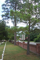 Seven pines at the Seven Pines National Cemetery.